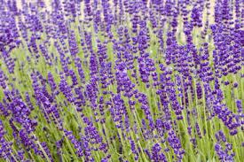 lavendar-plants