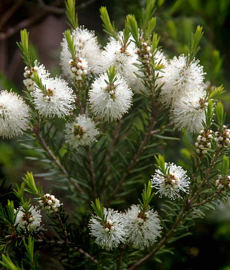 melaleuca_tree_flowered