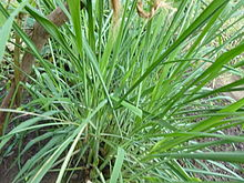 citronella-grass